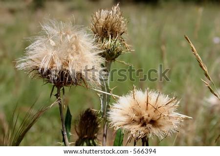 Dried Flower - stock photo