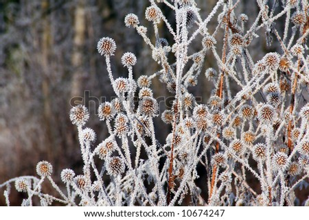 "Dried flowers ""decorated"" by hoarfrost."