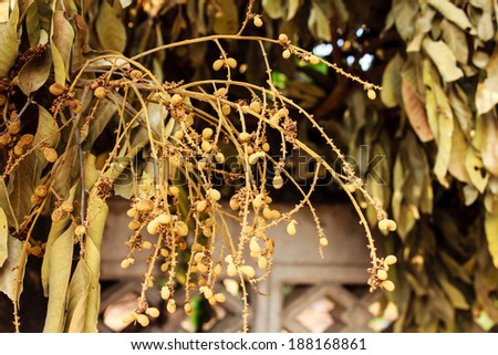 dried longan on dead longan tree - stock photo