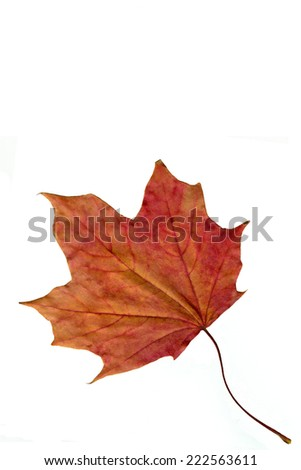 Dried maple leaf in red color. Autumn.