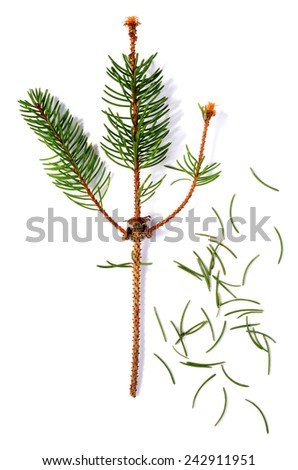 dried out fir branch after christmas isolated over white background - stock photo