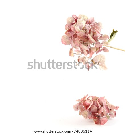 Dried pink hortensia with space for text - stock photo