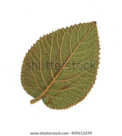 dried pressed green leaf  isolated element on white  background   - stock photo