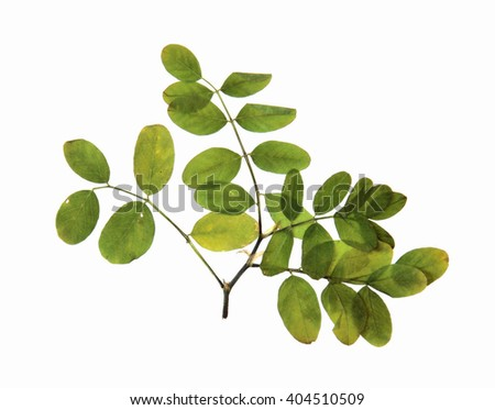 dried  pressed leaves of  bilberry plants isolated element on white  background  - stock photo