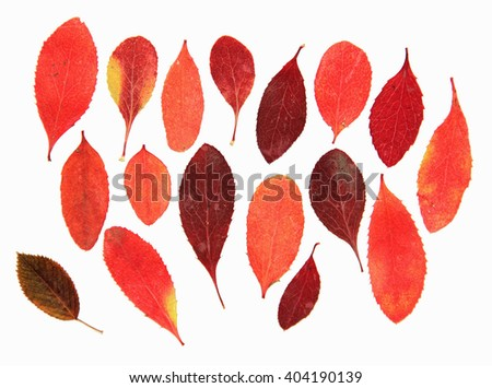 dried pressed red leaves of plants barberry, rosehip, isolated elements on white  - stock photo
