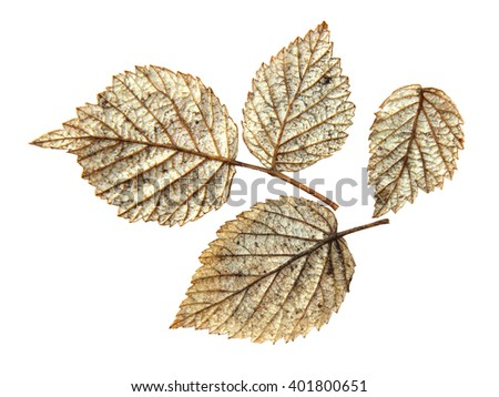 dried pressed silver leaf of raspberry, isolated element - stock photo