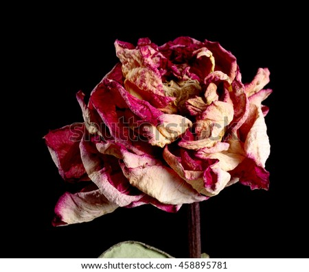 Dried red rose flower on background.