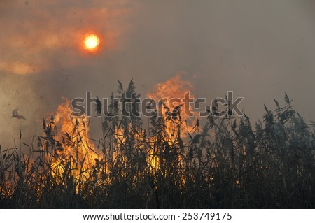 Dried reeds growing in the fire at sunset. Fire in the reeds.  - stock photo
