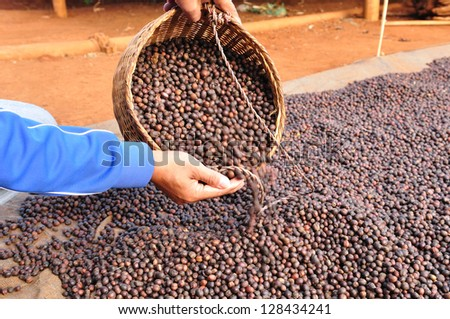 dried robusta coffee beans were poured from the basket - stock photo