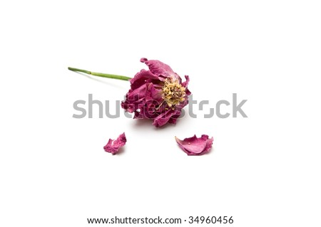 Dried rose blossom with two torn petals - stock photo