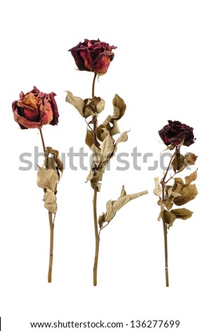 dried rose flower with dried leafs isolated