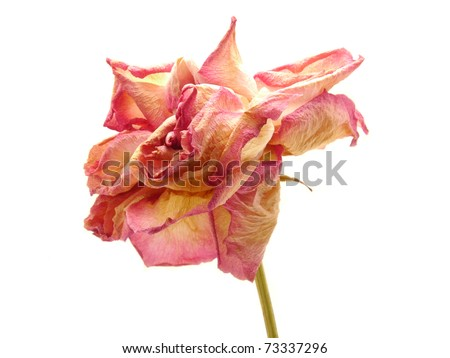 Dried rose head white isolated - stock photo