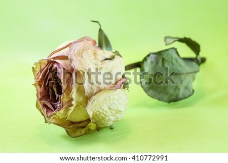 Dried rose on green background - stock photo