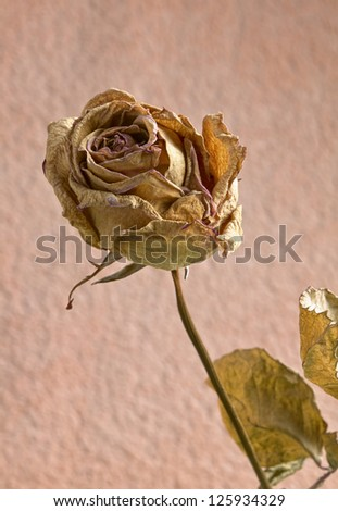 dried roses with background closeup - stock photo