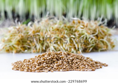 Dried wheat berries and wheat sprouts for growing wheatgrass - stock photo