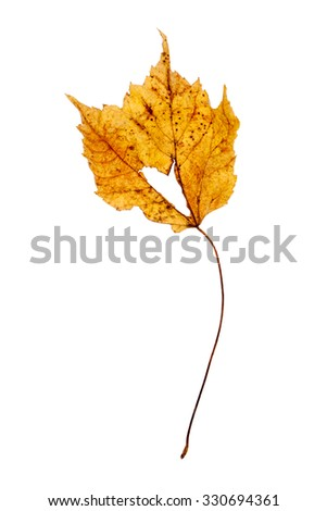 Dried yellow maple leaf with stem isolated on a white background - stock photo