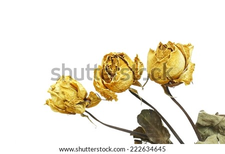 Dried yellow rose  - stock photo