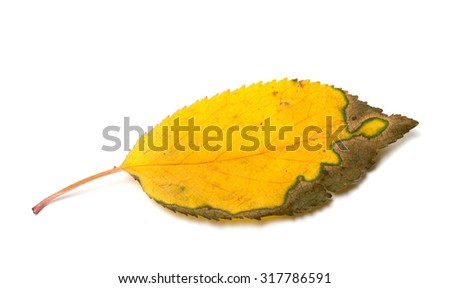 Dried yellowed autumn leaf. Isolated on white background.  - stock photo