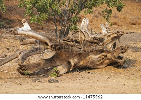 Driftwood in the bed of the Olifants River, South Africa. - stock photo