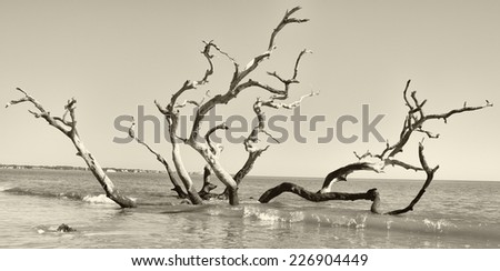 Driftwood tree still standing in the ocean - stock photo