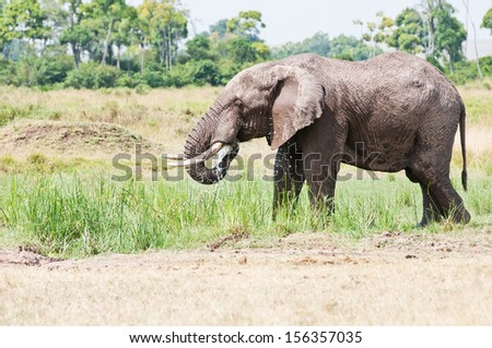 drinking african elephant in the masai mara national park in kenya - stock photo