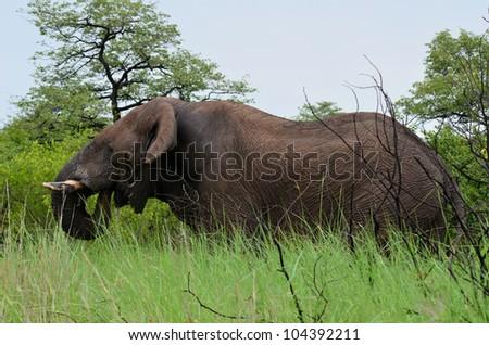 drinking elephant - stock photo