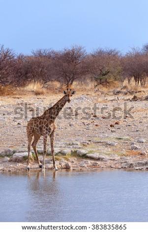 drinking Giraffa camelopardalis on waterhole in Etosha national Park, Ombika, Kunene, Namibia, true wildlife - stock photo