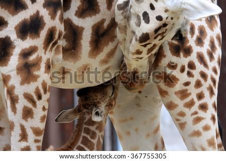 drinking Giraffe baby - stock photo
