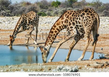 drinking giraffe (Giraffa camelopardalis) in the Etosha National Park, Namibia - stock photo