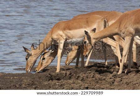 Drinking impala - stock photo