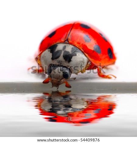 Drinking ladybug. Conceptual image. Purity metaphor. Macro with shallow DOF. - stock photo