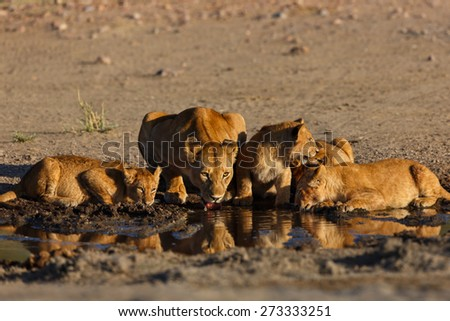 Drinking Lion mother and her four cubs in the Serengeti, Tanzania - stock photo