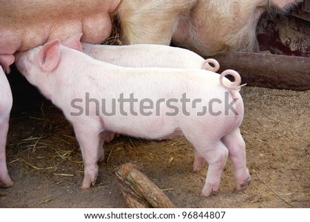 Drinking piglets with curling tails - stock photo