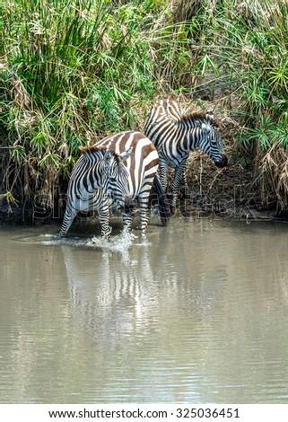 Drinking Zebra at Mara River of Maasai mara National Park in Kenya, Africa. - stock photo