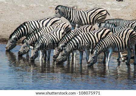 Drinking Zebra (Equus quagga) in the Etosha National Park, Namibia - stock photo