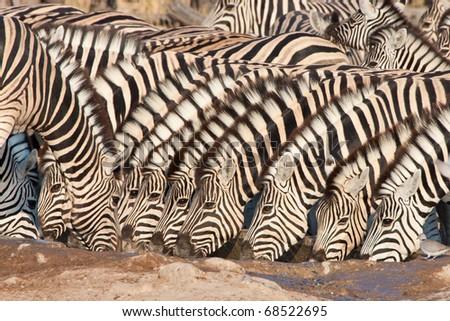 Drinking zebra herd - stock photo