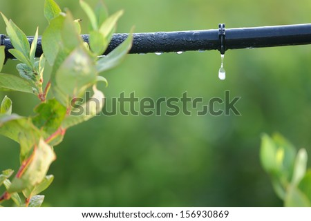Drip Irrigation System Close Up. Water saving drip irrigation system being used in a Blueberry field.  - stock photo