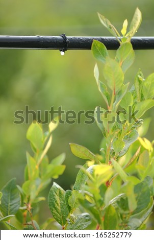 Drip Irrigation System vertical. Water saving drip irrigation system being used in a Blueberry field.  - stock photo