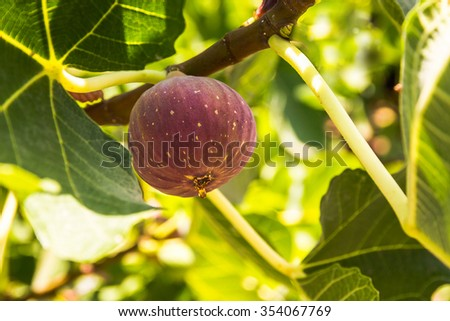 Dripping ripe fig on the tree, close up, soft focus - stock photo