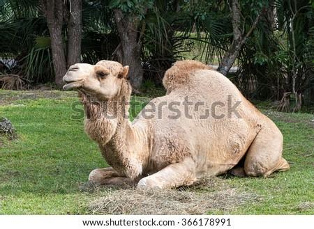 Dromedary Camel - stock photo