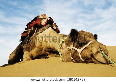 Dromedary Camel in The Thar Desert, Rajasthan, India - stock photo