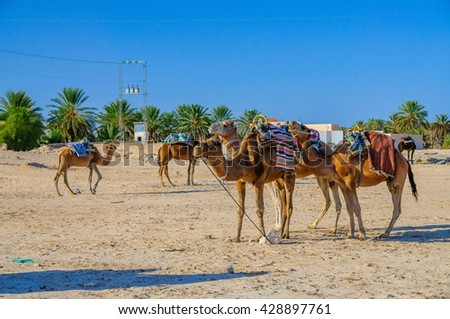 Dromedary Camels standing in sahara desert in Tunisia, Africa. - stock photo