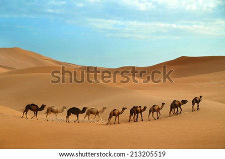 Dromedary camels walking in the Sahara desert in Morocco