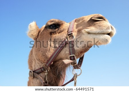 Dromedary head-shot: the profile  of a North African dromedary's head  with blue sky as background. - stock photo