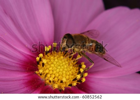 Drone fly  (Eristalis tenax) on a flower - stock photo