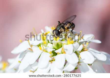 Drone fly on iberis taurica flower - stock photo