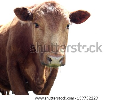 Drooling Heifer - stock photo