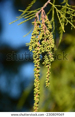 Drooping panicles of Bald cypress male cones - stock photo