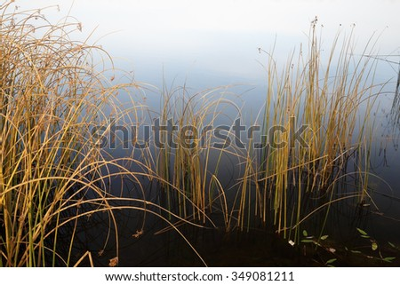 Drooping sedge withered stalks in water. Coastal plants in late autumn. Close-up fragment of the lake. - stock photo