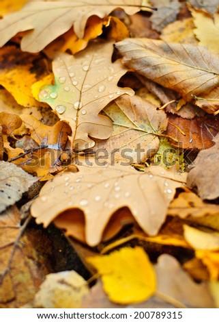 Drop on leaves (Autumn) - stock photo